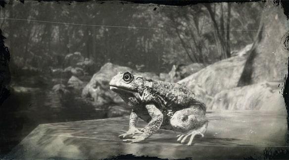 セイブヒキガエルの画像