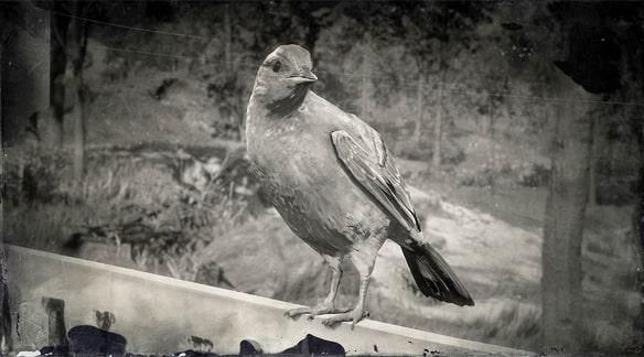 ボルチモアムクドリモドキの画像
